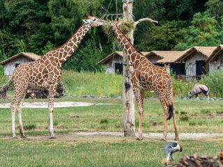 Lodge bei Giraffen