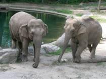 Elefanten im Bronx Zoo. © edenpictures