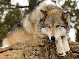 Das Wild Spirit Wolf Sanctuary in New Mexico © Allison Bailey