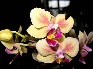 Orchidee in der Biosphäre Potsdam. © quinet
