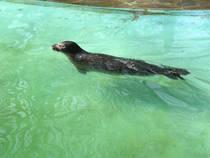 Seehund im Zoo Duisburg © fabian.reinwald